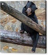 Black Bear Cub Sitting On Tree Trunk Acrylic Print