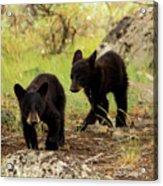 Black Bear Cubs Acrylic Print