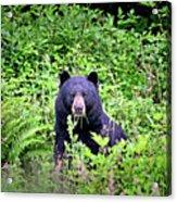 Black Bear Eating His Veggies Acrylic Print