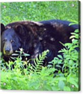 A Florida Black Bear Acrylic Print