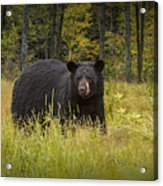 Black Bear In The Grass Acrylic Print