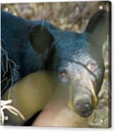 Black Bear Oh My Acrylic Print