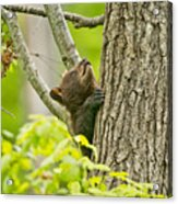Black Bear Pictures 82 Acrylic Print