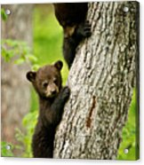 Black Bear Pictures 84 Acrylic Print