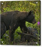 Black Bear-signed-#6549 Acrylic Print