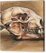Black Bear Skull Acrylic Print by Darlene Watters