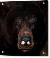 Black Bear Sniff Acrylic Print