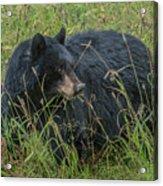 Black Bear Sow Acrylic Print