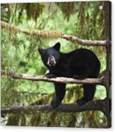 Black Bear Ursus Americanus Cub In Tree Acrylic Print