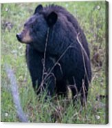 Black Bear Yellowstone Np_grk7085_05222018 Acrylic Print