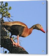 Black Belied Whistling Duck Acrylic Print