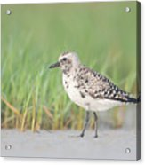 Black-bellied Plover I Acrylic Print