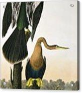 Black Billed Darter Acrylic Print by John James Audubon