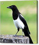 Black-billed Magpie Acrylic Print