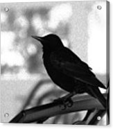 Black Bird Bw Acrylic Print