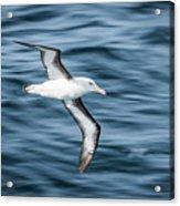 Black-browed Albatross Gliding Over Deep Blue Waves Acrylic Print