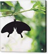 Black Butterfly Acrylic Print