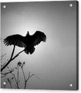 Black Buzzard 5 Acrylic Print