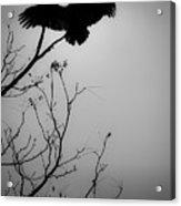 Black Buzzard 6 Acrylic Print
