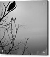 Black Buzzard 7 Acrylic Print