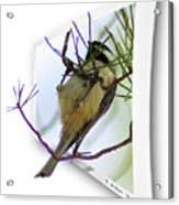 Black-capped Chick-a-dee Acrylic Print