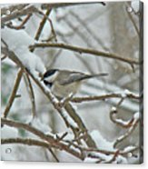 Black Capped Chickadee - Poecile Atricapillus Acrylic Print