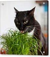 Black Cat Eating Cat Grass Acrylic Print