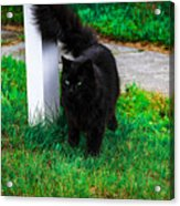 Black Cat Maine Acrylic Print