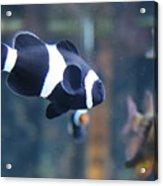 Black Clown Fish Acrylic Print