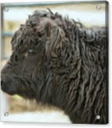 Black Cow Acrylic Print