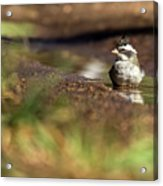 Black-crested Finch Acrylic Print