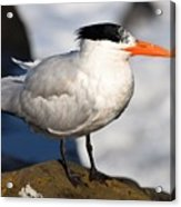 Black Crested Gull Acrylic Print