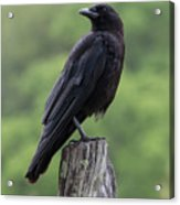 Black Crow Pearched On A Post Acrylic Print