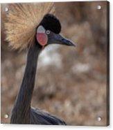 Black Crowned Crane 1 Acrylic Print