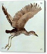 Black Crowned Night Heron 3junenile Roger Bansemer Acrylic Print