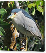 Black Crowned Night Heron Acrylic Print