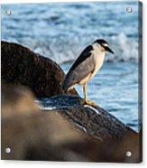 Black Crowned Night Heron B3975 Acrylic Print