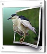 Black Crowned Night Heron Acrylic Print