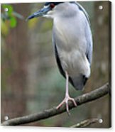 Black Crowned Night Heron IIi Acrylic Print