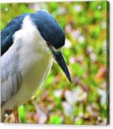 Black-crowned Night Heron Acrylic Print