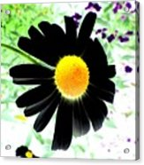 Black Daisy Acrylic Print