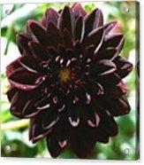 Black Dalia  Acrylic Print