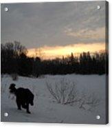 Black Dog Exploring Snow At Dawn Acrylic Print