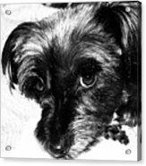 Black Dog Looking At You Acrylic Print