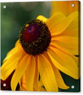 Black Eye Susan Acrylic Print