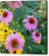Black Eye Susans And Echinacea Acrylic Print