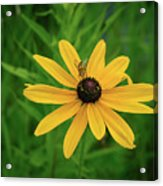 Black Eyed Susan And Friends Acrylic Print