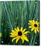 Black Eyed Susan And Tall Grass Acrylic Print
