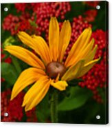 Black-eyed Susan And Yarrow Acrylic Print