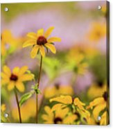 Black Eyed Susan Sunflowers In Field Acrylic Print